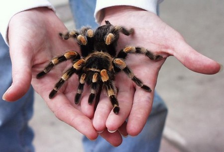 Feeding a Pet Tarantula