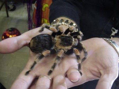 Pet Tarantula 1 What to Do If You Are Allergic to Your Pet Tarantula