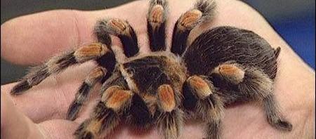 Pet Tarantula Bite Pet Tarantula