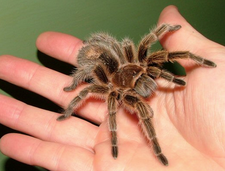 what to do if you are allergic to your pet tarantula