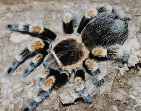 Sick Tarantula