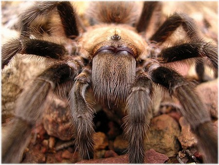 Sick Tarantula How to Recognize a Sick Tarantula