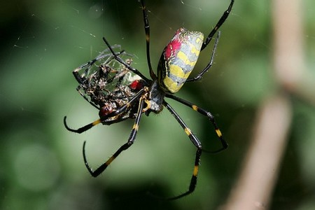 Silk Spiders 1 An Introduction to Weavers and Silk Spiders