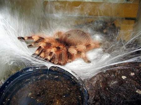Tarantula Eggs