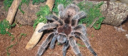 Tarantula Housing