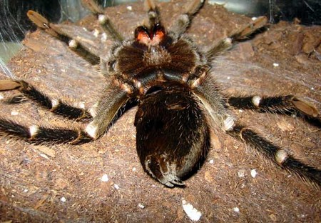 Tarantula Is Molting