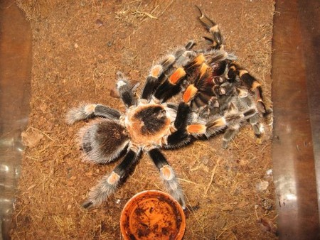Tarantula Spiderlings