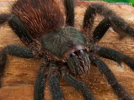 Tarantula Spiders 1 How to Identify Different Types of Tarantula Spiders