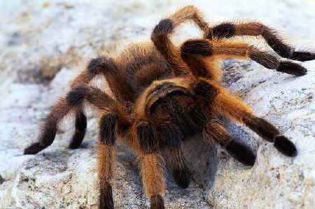 Tarantula Spiders 2 How to Identify Different Types of Tarantula Spiders