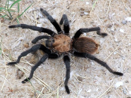 Tarantula Spiders How to Identify Different Types of Tarantula Spiders