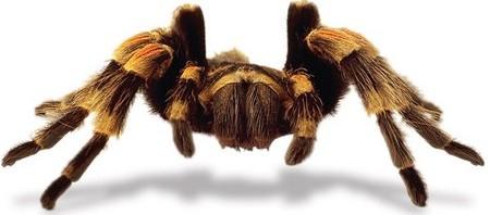 Tarantulas as Pets