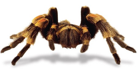 Tarantulas as Pets1 Things You Should Know When Choosing a Tarantula for a Pet
