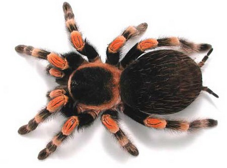 Tarantulas An Introduction to Tarantulas