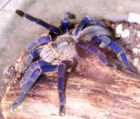 Tarantulas1 What Is The Ideal Temperature To Keep Tarantulas?