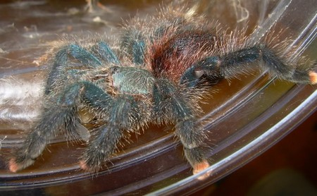 Tree Dwellers Tarantulas 1 Tips on Housing Tree Dwellers Tarantulas