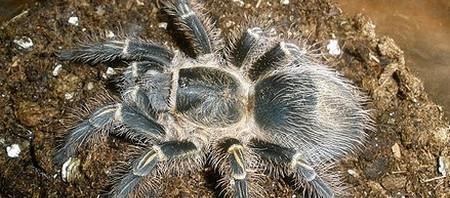 Tree-Dwellers Tarantulas