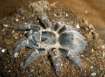 Tree Dwellers Tarantulas Tips on Housing Tree Dwellers Tarantulas